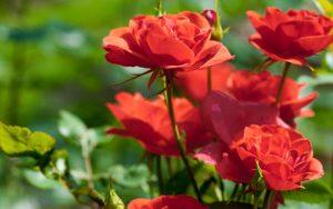 Rose-Bush-800x500